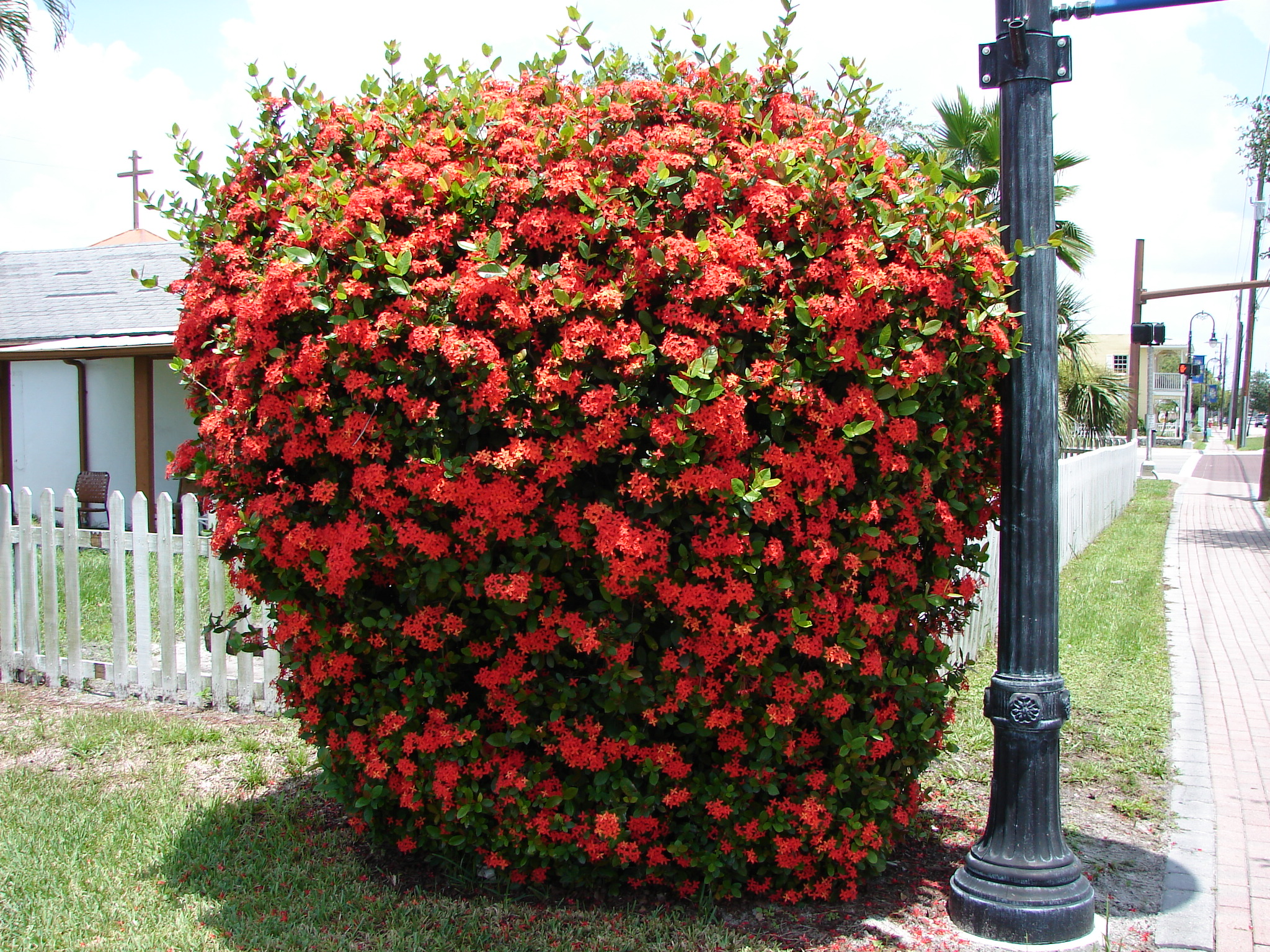 Suficiente Paisagismo: Plantas e Flores para Você Ter Em Casa: Ixora: Beleza  AW15